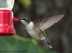 20160907-BFF_5726untitled shoot-2 (Bonnie Forman-Franco) Tags: hummingbirds feeders baitinghollow