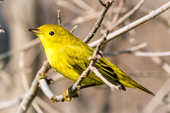 Yellow Warbler (tresed47) Tags: 2016 201609sep 20160913bombayhookmisc birds bombayhook canon7d content delaware folder peterscamera petersphotos places takenby us warbler yellowwarbler