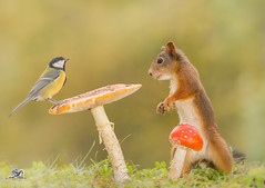 looking good (Geert Weggen) Tags: sweden geert nature animal red perennial closeup cute plant moss funny happy ground spring bright light yellow bird food seed finch green autumn mushroom fall squirrel rodent mammal tit titmouse weggen jmtland ragunda