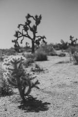 Joshua Trees (mripp) Tags: art kunst landscape landschaft joshua tree baum nature natur yucca palm usa america amerika california kalifornien black white mono monochrome fuji xpro2 outside sky