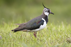 Northern lapwing (Vanellus vanellus) (www.clivetemple.com) Tags: cley lapwing norfolk bird wader shorebird