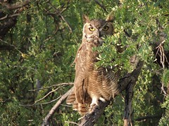 Liking the cooler AM temperature (jwrieden) Tags: owl greathornedowl arizona wildlife nature birds raptor morning southmountain eyes outdoor cool feather