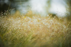 autumn weed (slowhand7530) Tags: nikon d800e nikkor 50mm f12 ainikkor50mm12 autumn weed