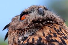 Looking for prey (carlo612001) Tags: owl falconry bird birds eye oasidisantalessio