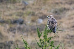 Circaetus gallicus (Biancone) (carlogaia) Tags: snake eagle biancone bellino val varaita bird
