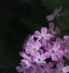 Phlox (mahar15) Tags: flower outdoors phlox bloom flowers petals nature