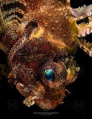 Shortfin lionfish on a coral (Arno Enzerink) Tags: loistosiipisimppu bestof aquatic dendrochirusbrachypterus diving dwarf fin life lionfish marine marinelife ocean scuba sea shortfin shortfinlionfish stings underwater water