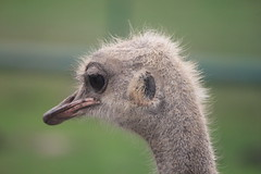 Ostrich (Kelly.Garsha) Tags: africa canada blur macro canon zoo bokeh african ostrich safari avestruz canonrebel autruche straus africanlionsafari  struzzo 550d  safaritour mbuni eoskissx4 canon550d eos550d canonrebelt2i canonkissx4 eosrebelt2i conaiu