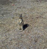 Squirrel. (moyalynne) Tags: candlestick candlestickpoint orchestrafornativesofthefuture