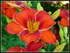 Apache War Dance (milomingo) Tags: summer flower nature closeup botanical petals flora vivid daylily bloom mygarden horticulture fantasticflowers flowerscolors abigfave hotcolor wowiekazowie flowersarefabulous