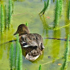 Eend in het groen - (1) - Duck in green (Johnny Cooman) Tags: reflection green bird square duck belgium belgique belgi natuur vgel ghent gent soe eend gand vogel gante flanders belgien autofocus blgica reflectie vlaanderen oostvlaanderen flandern vierkant belgia flandre flandes eastflanders thegalaxy  fantasticnature flickraward flemishregion canons5 platinumheartaward mygearandme mygearandmepremium flhregion mygearandmebronze mygearandmesilver mygearandmegold mygearandmeplatinum ringexcellence vigilantphotographersunite vpu2 vpu3 vpu4 vpu5 vpu6 vpu7 vpu8