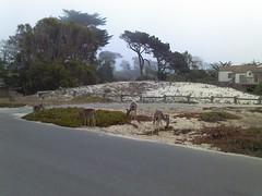 Morning Jog - Apathetic Deer Butts (peejaybird) Tags: monterey view deer pacificgrove jog laborday2012