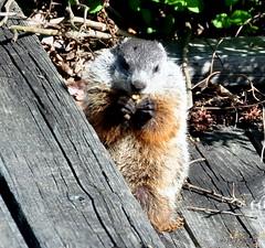 DSC_0367 (rachidH) Tags: nature nj woodchuck groundhog marmot sparta juvenile rodents marmotte rachidh