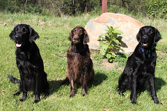 The Three Pond Dwellers (Flat Coat Whimsy) Tags: dogs three whimsy canine trulli triton flatcoatedretriever wetdog blackandbrown