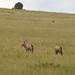 Oxyx, antilopes chifrudos