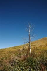 Standing alone (bichane) Tags: blue sky tree vertical contrast dead one alone bare single lone hillside stark