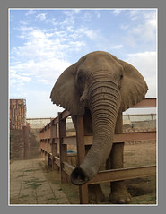 @ Taif Zoo (Basheer Olakara) Tags: elephant zoo saudi taif olakara