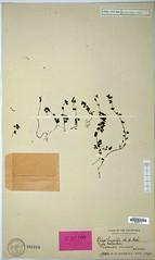 Pilea humilis, Type, L39774 (filibot.web) Tags: plants asia philippines humilis botany specimens pilea urticaceae filibot