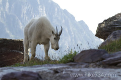 "Mountain Goat • <a style=""font-size:0.8em;"" href=""http://www.flickr.com/photos/63501323@N07/8007175736/"" target=""_blank"">View on Flickr</a>"