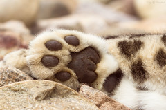 snow leopard's paw (Cloudtail the Snow Leopard) Tags: zoo karlsruhe schneeleopard snowleopard irbis panthera uncia cat katze bigcat groskatze raubkatze pfote paw assam cloudtailthesnowleopard