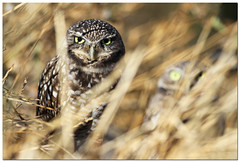 Who's looking at Who... (A.J.Pendleton-Lightbox 2008 (On and Off)) Tags: bird nature birds animal closeup canon creativity wildlife owl birdofprey excellence burrowingowl wildfowl aclass longlens naturesfinest dapa camerafilters supershot justnature supershots dapagroup talentshowcase worldclassimage artistspotlight floraandfaunaoftheworld canon7d naturethroughthelens canondigitalphotographersnaturewildlife wildlifetheultimateimagegalleryofwildlife mmmilikeit artedalcuore awesomephotoimagery thewonderfulworldofnature wonderfulworldofnature awesomephotoimage bestthroughthelens theultimategalleryofphotographs elitetalentshowcase