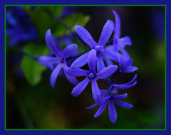 Petrea (david.gill12) Tags: nature natureza petrea floweringshrub bewiahn