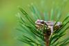 _MG_0412 (Den Boma Files) Tags: fauna dieren kikker amfibieen stropersbos