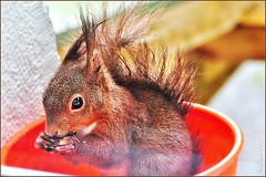 ~~P'tit Louis dans la cuvette !~~ (Jolisa) Tags: nature fun nikon squirrel cureuil drle cuvette croquenature juin2012