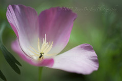 Mellow Monday (Explored) (JayBeee2) Tags: flower macro garden californianpoppy