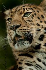 Proud Hunter (LawrieBrailey) Tags: male cat photography big nikon open wildlife wide 300mm leopard marwell amur f40 akin lawrie brailey flickrbigcats
