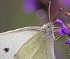 Butterfly (Tim Lindstedt) Tags: white macro nature canon butterfly insect purple lavender