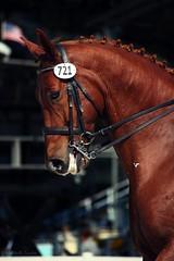 strength (Jen MacNeill) Tags: horses horse canon pennsylvania september devon horseshow equine 2012 dressage warmblood dressageatdevon gypsymarestudios jennifermacneilltraylor jmacneilltraylor