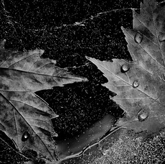 Frozen Leaves (Alan Drake) Tags: autumn blackandwhite bw fall ice water square frozen leaf maple nikon d7000