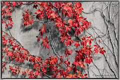 Virginia Creeper (www.momentsinature.com) Tags: autumn ohio ivy 1740mm virginiacreeper cuyahogavalleynationalpark parthenocissusquinquefolia brecksvillereservation canon7d photocontesttnc12