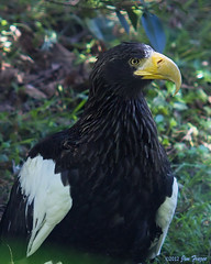 Steller's Sea Eagle - Bald Eagle's Closest Cousin (SARhounds) Tags: sandiegozoo haliaeetuspelagicus stellersseaeagle captivebird blinkagain shotthroughwire baldeaglesclosestcousin