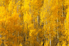 Aspen Glory (wellscenephotography (ON)) Tags: tree fall leaves lines yellow closeup forest colorado vivid aspen 2012