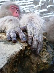 Nails (edamame note) Tags: winter wild snow hot nature face animal japan japanese monkey spring hands bath wildlife soak nails onsen nagano jigokudani macaque        p1010303