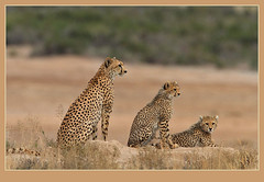 No fixed abode! (Rainbirder) Tags: cheetah amboseli acinonyxjubatus specanimal rainbirder