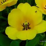 Dutch Tulip, Keukenhof Gardens, Holland - 0674 thumbnail