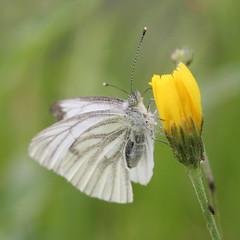 ... bright eyes ... (Schapekop) Tags: butterfly nederland explore brighteyes drenthe vlinder schapekop theohappe hollandscheveld