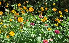 wildflower mix (karma (Karen)) Tags: baltimore maryland home frontyard wildflowers brightcolors 4summer cmwd