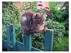 balance (Kruijssen) Tags: fujifilmx30 haarlem kat poes cat
