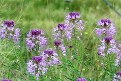 Roadside Flower Show (Patricia Henschen) Tags: russelllakes swa statewildlifearea wetland saguache county sanluisvalley wildflowers wildflower beeplant cleome rockymountain cleomeserrulata capparaceae backroads catchycolors