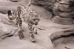 Toronto Zoo, July 16, 2016 (MorboKat) Tags: toronto torontozoo zoo snowleopard leopard cat bigcat pantherauncia pantheraunciasynunciauncia unciauncia panthera felidae carnivore carnivora mammal mammalia animal animalia