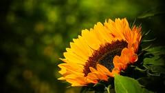 sunflower (2) (Yasmine Hens) Tags: tournesol sunflower jaune yellow green vert bokeh hensyasmine hens yasmine flickr namur belgium wallonie europa flower fleur bloem blum wow