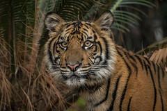 Suka @ 11 Months (ToddLahman) Tags: suka sumatrantiger cub sandiegozoosafaripark safaripark escondido tigers tiger tigertrail tigercub teddy joanne closeup