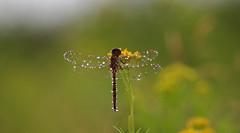 aug19 2016 10 (Delena Jane) Tags: delenajane dfo droplet dragonfly raindrops rainy newfoundland ngc canada closeup insect pentaxart