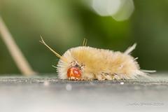White Caterpillar 1 (strjustin) Tags: caterpillar beautiful canon canon60d macro insect bokeh