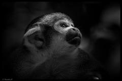 Les yeux de la foret.... (Pilouchy) Tags: yeux eyes blackandwhite monochrome animal monkey singe free wild arbre chemin noir regard lumiere cousin primate frere extrieur life dream reve