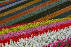 symphony of colors (Role Bigler) Tags: blume blumenfelder canonef70200lisusm canoneos5dsr flowerfields hokkaido japan natur nature nippon biei flora flower jp symphonyofcolors